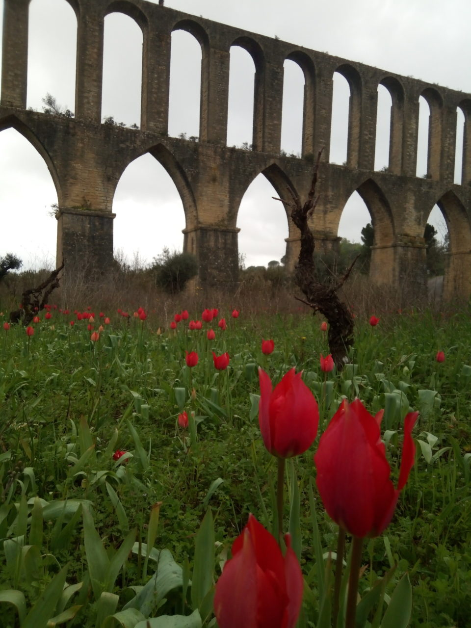 Tulips at the Aquaduct