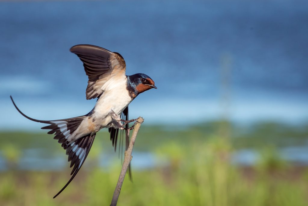 Barn Swallow- Title of the post with reference to coronavirus